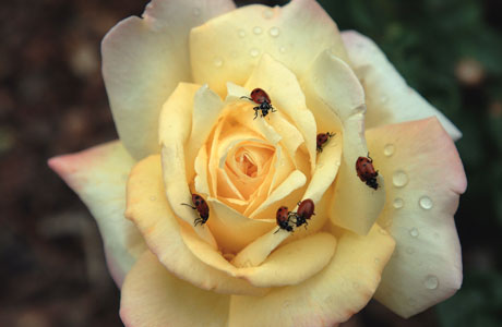 ladybugs on rose